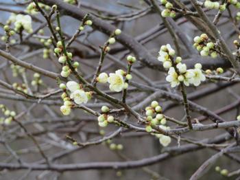 クリーム色の梅.png