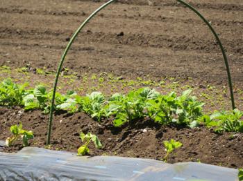 ジャガイモ芽が出た2021.png