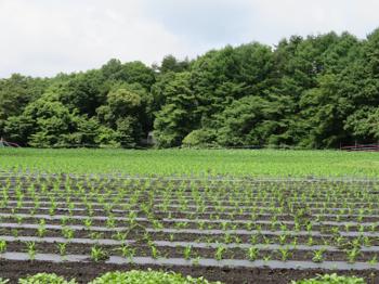 トウモロコシ畑2021.png